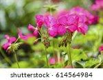 pink geranium flower in garden... | Shutterstock . vector #614564984
