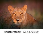 Close Up Portrait Of Wild...
