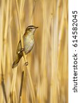 Small photo of Cute bird and nature. Yellow reeds background Sedge Warbler / Acrocephalus schoenobaenus