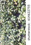 Small photo of Rush green vertical wall is full of dense hanging plant Dischidia nummularia Variegata.