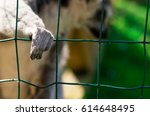 Lemur Is Behind Cage At The Zo...