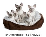 Stock photo five siamese kittens weeks old sitting in cat bed in front of white background 61470229