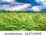 close up view to the wheat... | Shutterstock . vector #614714549