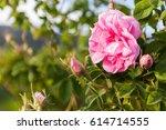 valley of oil rose plantation  | Shutterstock . vector #614714555