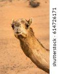 Portrait Of Smiling Camel