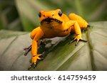 poison dart frog  phyllobates...   Shutterstock . vector #614759459