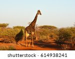 picture of a southern giraffe... | Shutterstock . vector #614938241