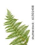 fern leaf isolated on white... | Shutterstock . vector #61501408