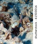Small photo of Spotted Shrimpgoby, (Amblyeleotris guttata) in Fiji