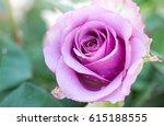 Close Up Purple Rose Flower