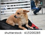 Little Brown Dog Chihuahua...
