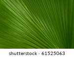 A Green Palmate Palm Frond In...