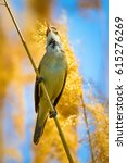 Small photo of Bird singing. Yellow reeds and blue sky background. Great Reed Warbler / Acrocephalus arundinaceus