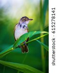 Small photo of Cute bird. Green nature background. Great Reed Warbler / Acrocephalus arundinaceus