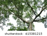 a big tree is showing her stem... | Shutterstock . vector #615381215