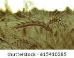 gold ears of wheat close up on... | Shutterstock . vector #615410285