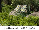 White Daffodils In A Bed With...
