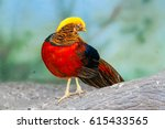 Golden Pheasant On A Close Up...