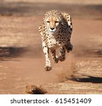 Cheetah Running  Completely...