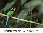 long tailed broadbill standing ...   Shutterstock . vector #615460679