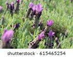 lavandula field | Shutterstock . vector #615465254