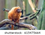 The Golden Lion Tamarin ...