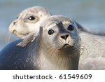 harbor seal | Shutterstock . vector #61549609