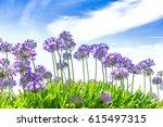 Purple Blue Agapanthus Flowers...