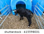 Young Bull In A Nursery For...