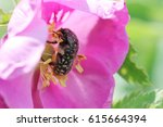 A June Beetle Pollinates A Pink ...
