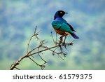 Colourful bird superb starling...