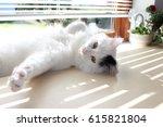 Stock photo white og black cat breed turkish van vankedisi or turkish angora 615821804