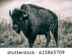 Black And White American Bison...
