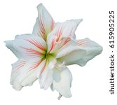 white lilly flower on isolated... | Shutterstock . vector #615905225