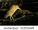 Black Crowned Night Heron...