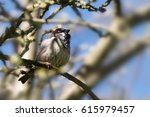 house sparrow male  passer... | Shutterstock . vector #615979457