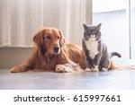 Stock photo british cat and golden retriever 615997661