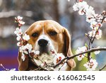 young dog beagle on the spring... | Shutterstock . vector #616062545