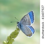 Small photo of Polyommatus amandus