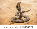 The king cobra on sand