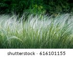 Feather Grass Found As...