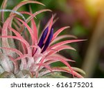 Tillandsia Flower Air Plant...