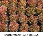 Small photo of Pattern of red and green plant leaf in black pot background(Alternanthera sessilis)