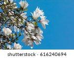 Magnolia Kobus. White Magnolia...