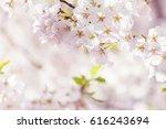 beautiful cherry blossom ...   Shutterstock . vector #616243694