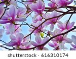 magnolia   soulangeana  saucer... | Shutterstock . vector #616310174