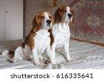 two dogs  beagle  indoor ...   Shutterstock . vector #616335641