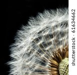Close Up Of Dandelion Seed Head
