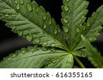 Small photo of Water Droplets on a Cannabis Leaf