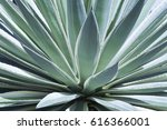 Close Up Of Sisal Agave  Green...